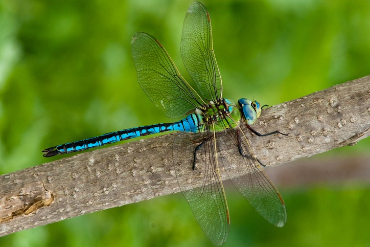 Emperor Dragonfly (male) on a branch