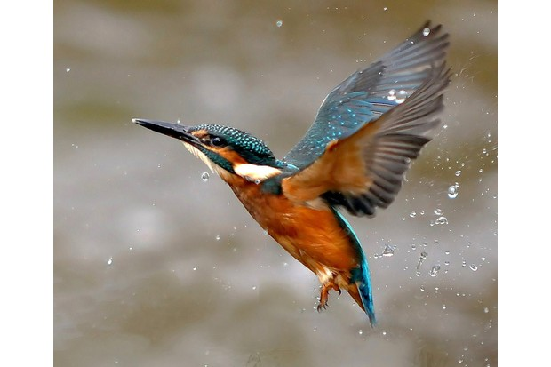 Flying kingfisher with water drops.