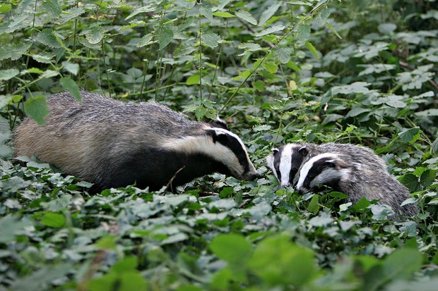 Eurasian Badger Eurasian Badgers (Meles Meles) : A Mother And Her Youngs.The Picture Was Taken In Picardy, France.Meles Meles , Eurasian Badger , Badger , Mustelid , Mammal (Photo by BSIP/UIG via Getty Images)