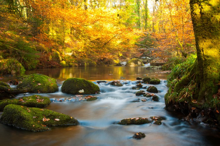 The golden colours of autumn splashed by the rising sun against the river at Burrator near Plymouth