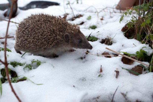 European Hedgehog, Erinaceus europaeus, snow, adult, mammal, outside