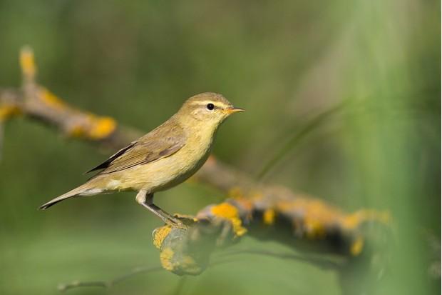 Bird - Common Chiffchaff (Phylloscopus collybita) on green background