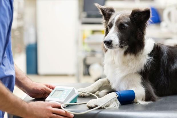 Border collie at the vet