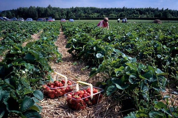 Pick your own strawberries farm Northumberland UK. (Photo by: Photofusion/UIG via Getty Images)