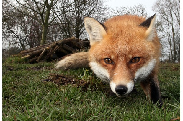 Close up of a Red Fox in Bristol in a garden/park using a remote camera trigger.