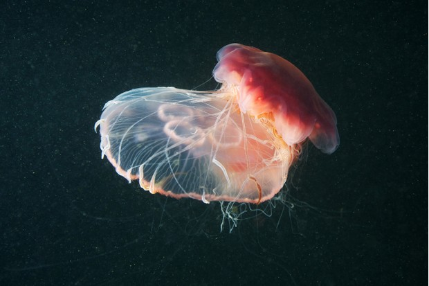 Lion's mane jellyfish (Cyanea capillata) and Moon jellyfish (Aurelia Aurita)