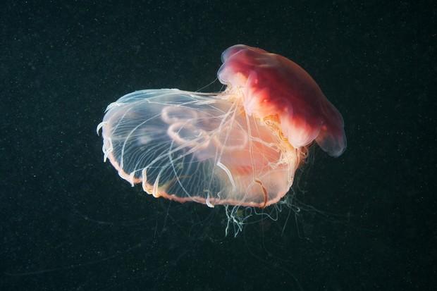 Lion's mane jellyfish (Cyanea capillata) and Moon jellyfish (Aurelia Aurita)