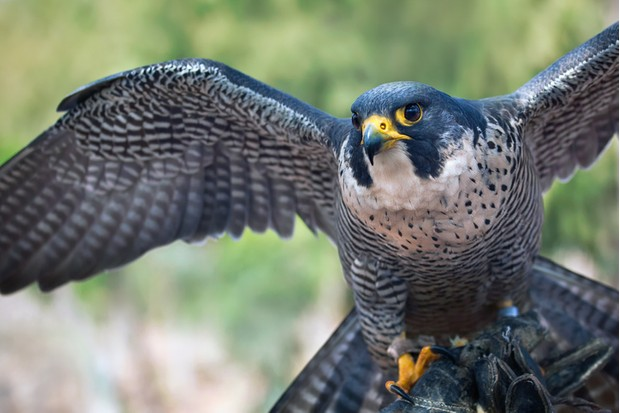 A Peregrine Falcon (Falco peregrinus) spreading its wings.