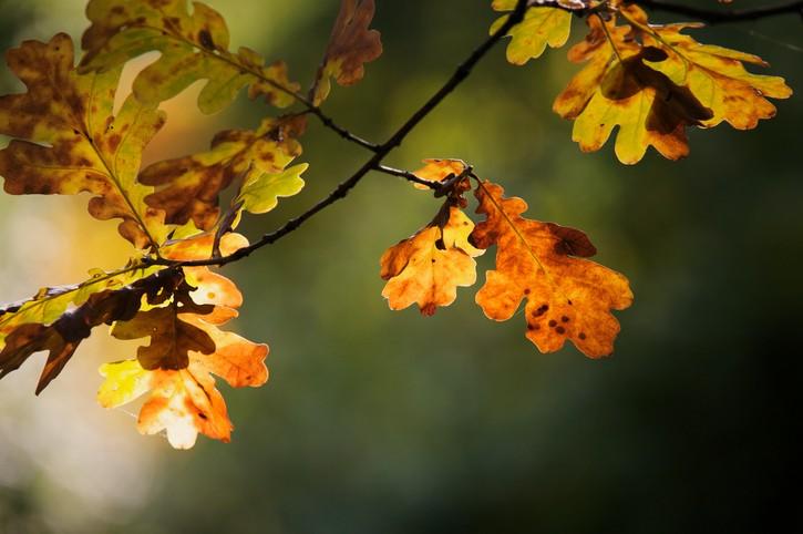 Nice colourful autumnal leaves of a oak tree.