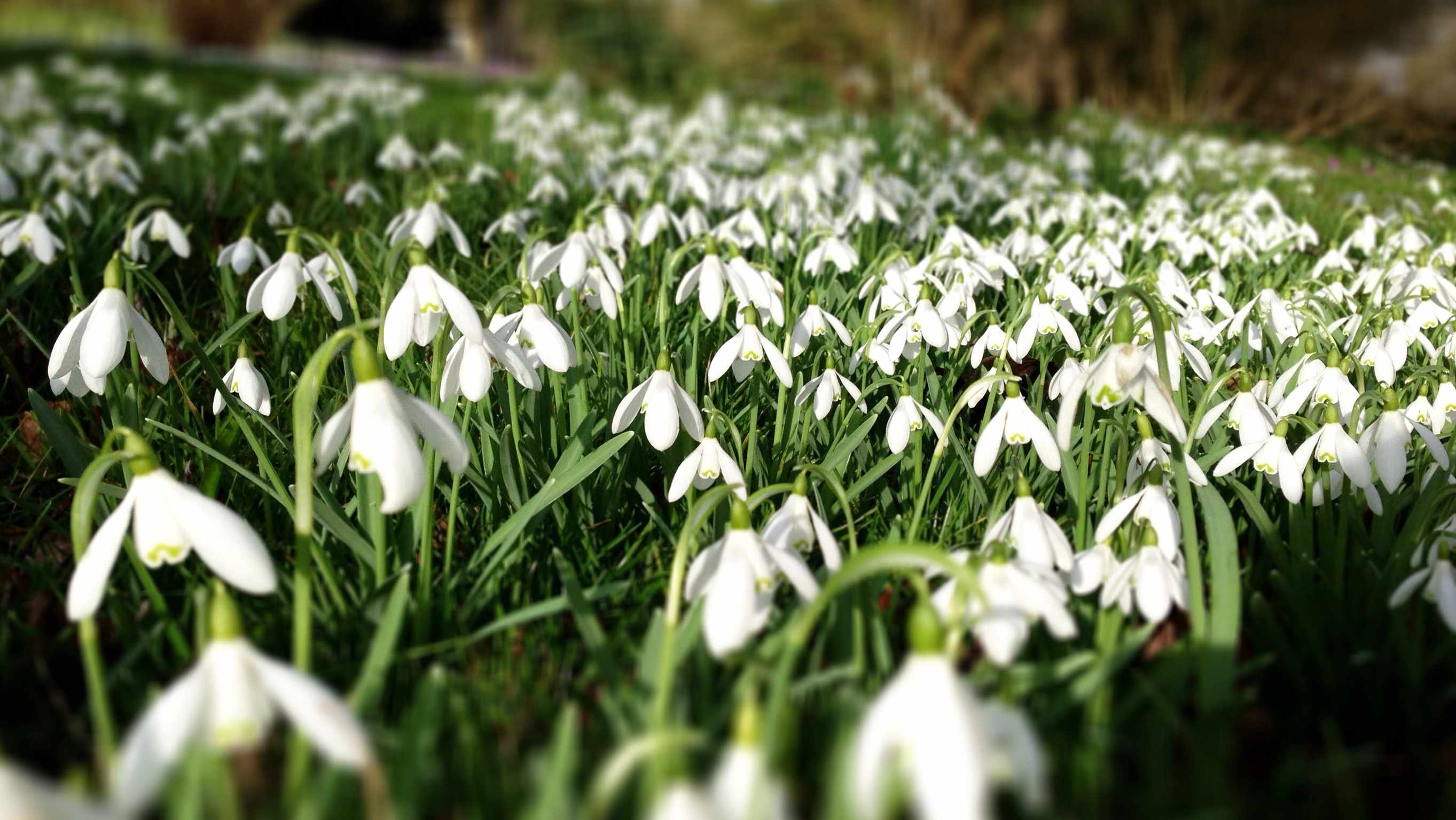 a field of snowdrops in the Cotswolds, England