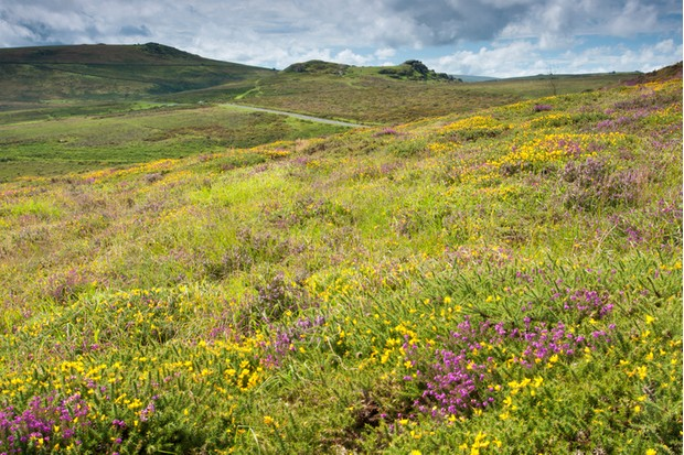 """""""Taken in August when the heather and gorse were in flower, from Haytor looking towards Saddle Tor and the road to Widecombe in the Moor."""""""