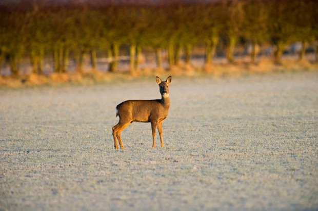 Roe Deer Capreolus capreolus in frost covered field Scottish borders.