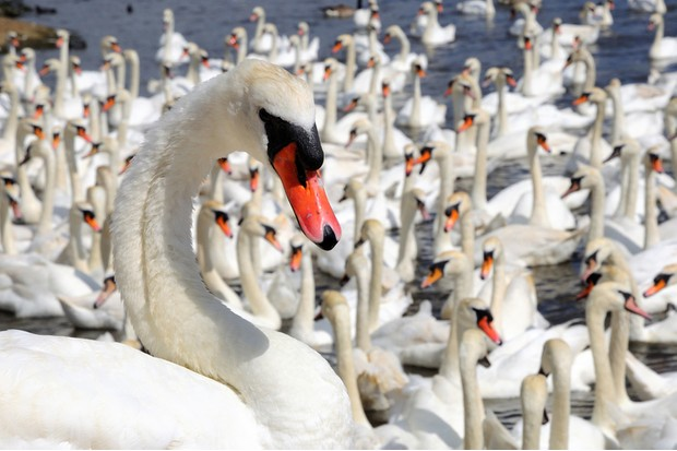 Swans at Abbotsbury Swannery.