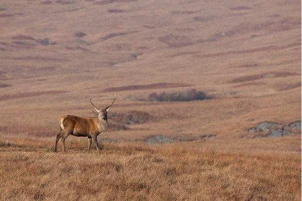 Stag photographed in Scotland during Autumn/Fall