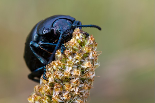 Macro of a large flightless bloody nosed beetle (Timarcha tenebricosa) on a plantain (Plantago lanceolata) flower spike.