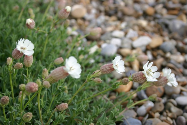 Sea campion in its natural habitat, shot in May on a shingle beach on the Suffolk coast.