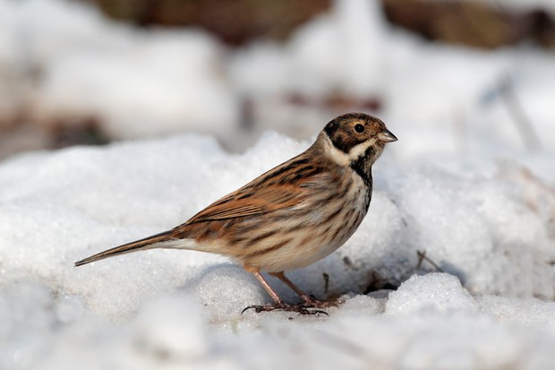 Reed bunting, Emberiza schoeniclus, single male on snow, West Midlands, February 2010