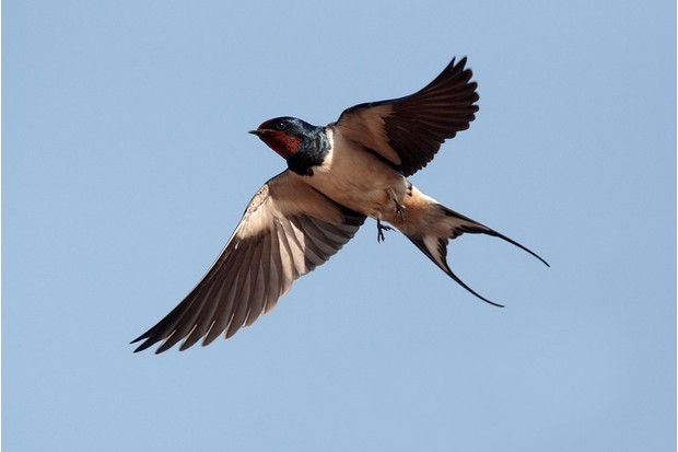 Swallow, Hirundo rustica, single bird in flight against blue sky, Portugal, March 2010