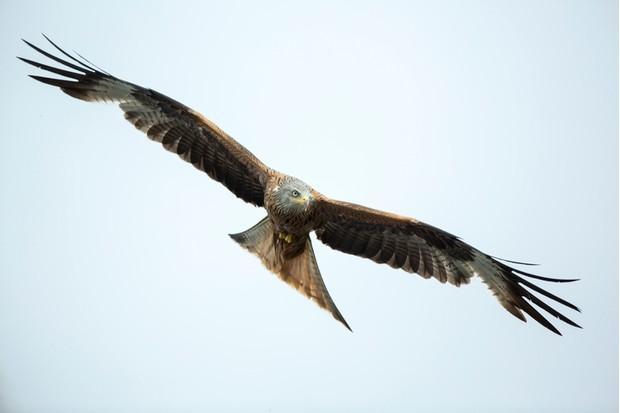 Red Kite (Milvus-milvus)