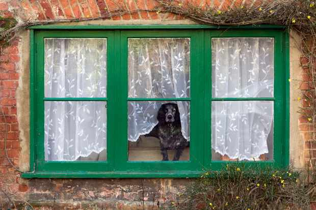 A spaniel looking out of a window of a typical English country cottage.