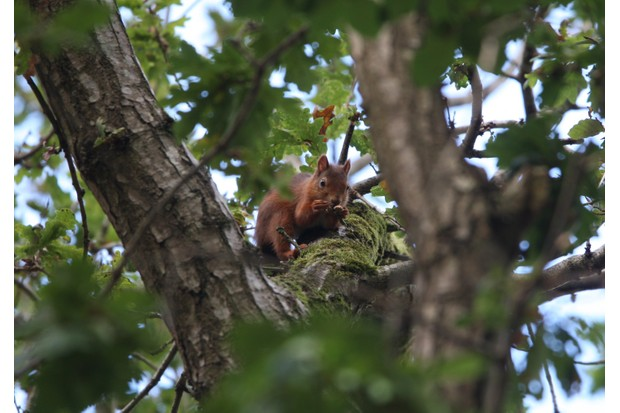 Red Squirrel eating acorns in oak tree taken on brownsea island in dorset