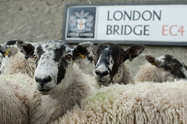 Liverymen and Freemen of the City of London re-enact their right to drive sheep across London Bridge in London, on September 29, 2013. The tradition dates back to the 11th century and saved farmers from paying a bridge crossing tax.  AFP PHOTO/WILL OLIVER        (Photo credit should read WILL OLIVER/AFP/Getty Images)