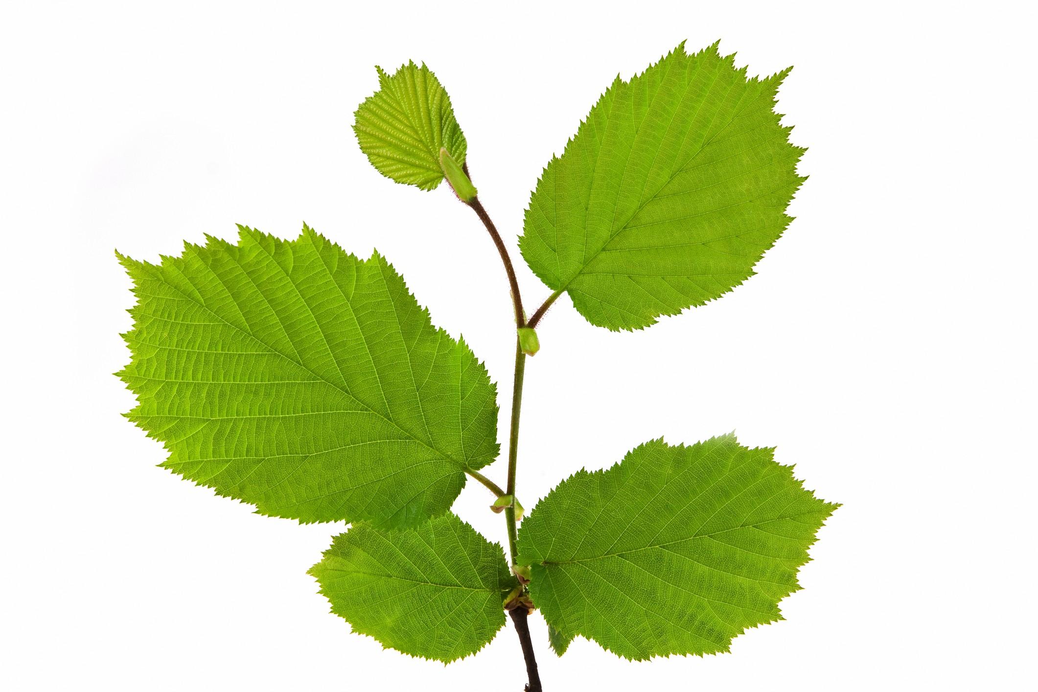 Hazelnut twig