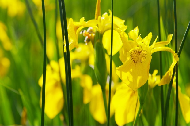 Yellow Flag Iris (Iris pseudacorus) with nicely blured green background