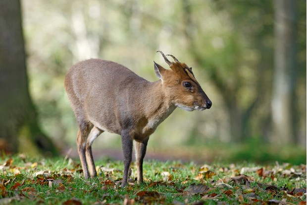 Chinese muntjac, Muntiacus reevesi, male, Wales