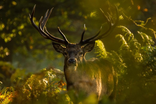 Red deer, UK