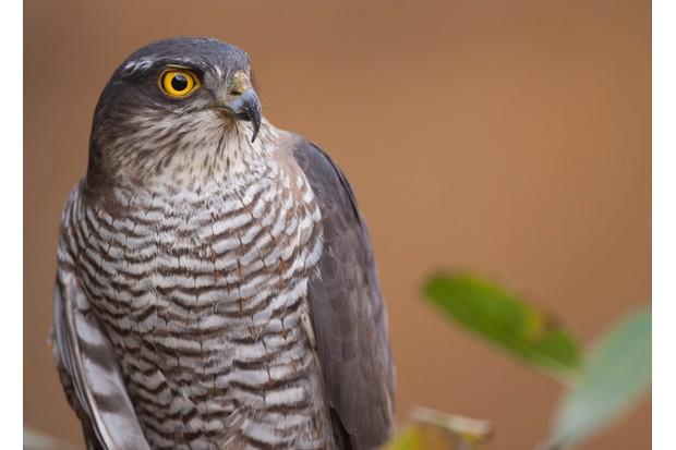 Eurasian Sparrowhawk portrait