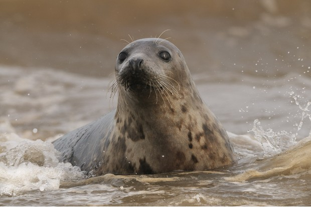A female Atlantic Grey Seal in the surf of the North Sea at Donna Nook on the east coast of England.
