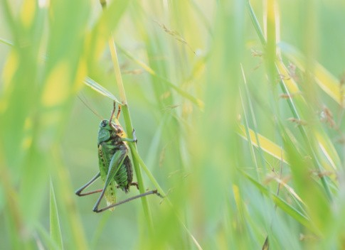 Wartbiter cricket (Decticus verrucivorus) on grass stalk, close-up