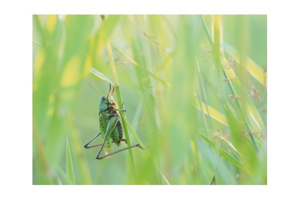Wartbiter cricket (Decticus verrucivorus) on grass stalk, close-up