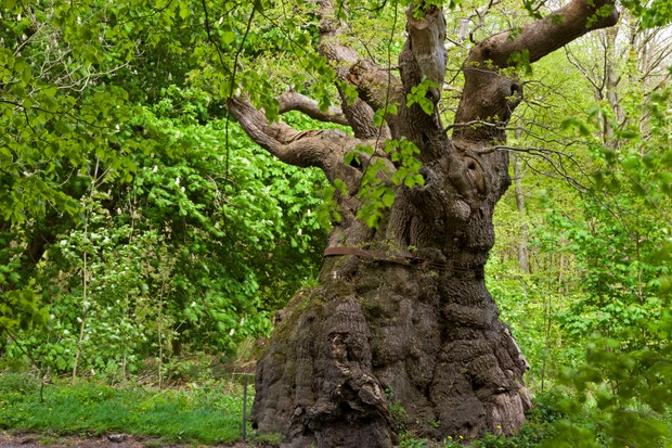 Bumble Oak