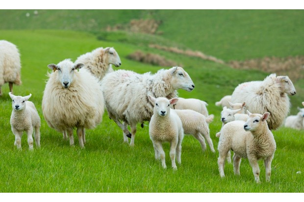 Flock of sheep ewes and lambs in the Brecon Beacons in Wales, United Kingdom