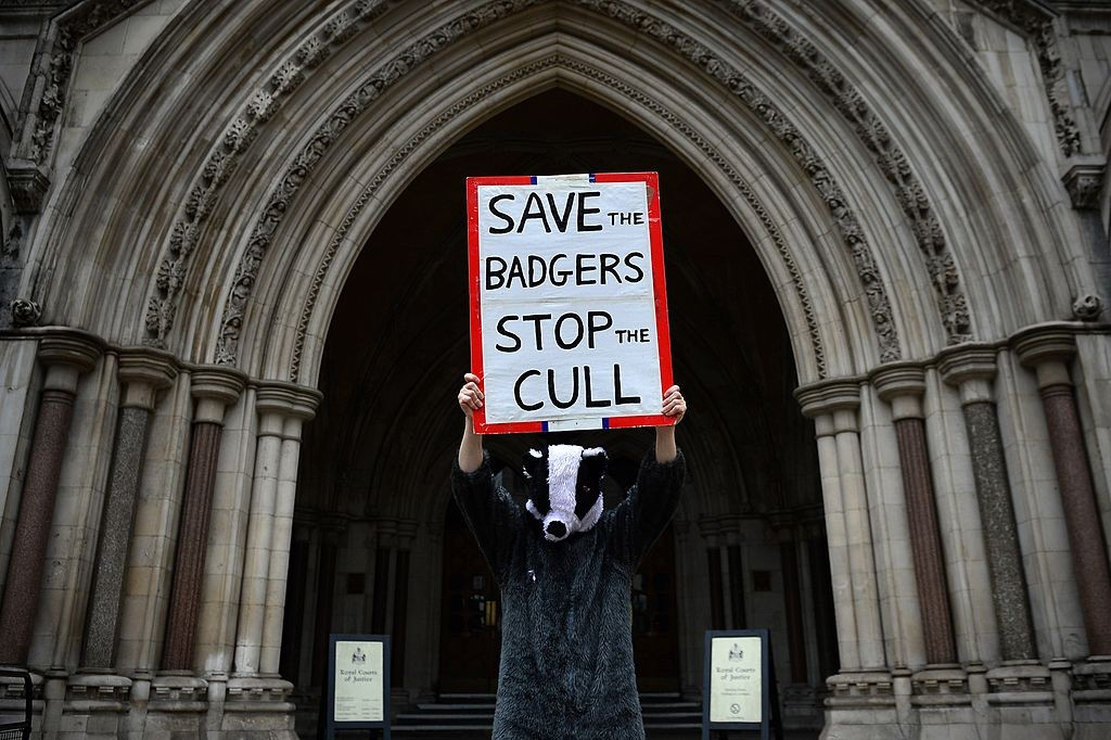 A protester dressed in a badger costume takes part in a demonstration against badger culling outside the High Court in London on August 21, 2014. Badger cull protesters gathered outside the High Court in London to await the decision on the Badger Trust's legal challenge over the government's badger cull policy.  AFP PHOTO / CARL COURT        (Photo credit should read CARL COURT/AFP/Getty Images)