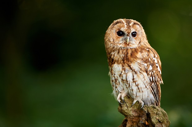 A Tawny Owl sits on a branch