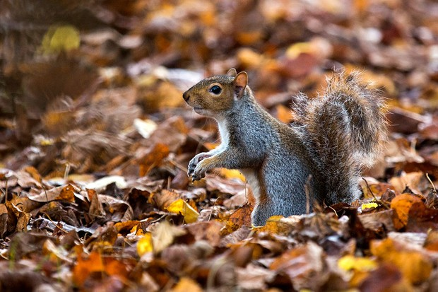 LONDON, ENGLAND - OCTOBER 31:  A grey squirrel forages amongst the autumn leaves in Hyde Park on October 31, 2014 in London, England.  Temperatures in London are forecasted to exceed 20 degrees, making today the hottest Halloween on record.  (Photo by Rob Stothard/Getty Images)