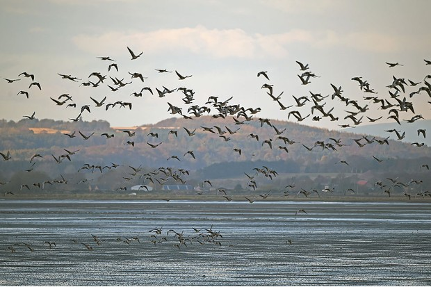 MONTROSE, SCOTLAND - NOVEMBER 05:  Pink footed geese take off to feed from Montrose Basin on November 5, 2014 in Montrose, Scotland. Staff and volunteers at the Scottish Wildlife Trust have recorded more than 78,000 geese arriving to spend the winter in the reserve, eclipsing a previous record, set in 2010, which saw 65,060 geese arrive at the nature reserve.  (Photo by Jeff J Mitchell/Getty Images)