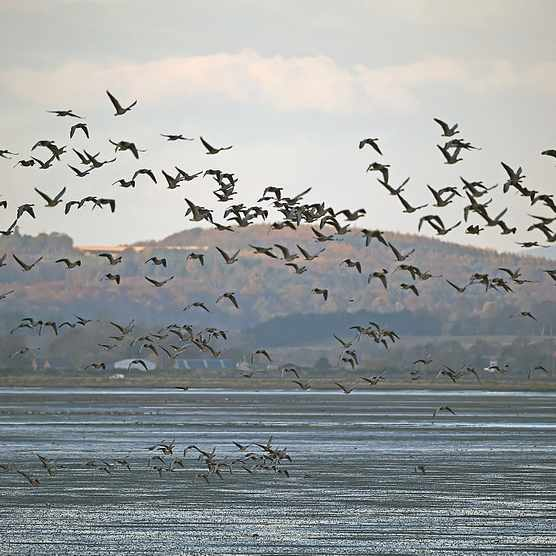 Pink-Footed Geese Flock To Montrose Basin
