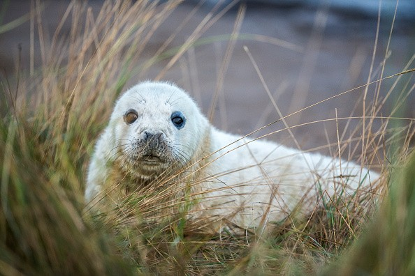 GRIMSBY, ENGLAND - NOVEMBER 24:  A Grey Seal pup lies in the grass at the Lincolnshire Wildlife Trust's Donna Nook nature reserve on November 24, 2014 in Grimsby, England. Seal pup numbers have increased on last year with over 800 pups born at the reserve so far. Large bull seals are the first to arrive at the reserve in late October or early November where they will wait for females. The Cow's arrive later and are herded into harems by the bulls, where they give birth to a single pup which is covered in white fur. The seals return to the North Sea in January before returning to the same area to give birth the following year. The Donna Nook reserve is the UK's premier destination to see Grey Seals and thousands of visitors from across the country come to see the wildlife spectacle every year.  (Photo by Dan Kitwood/Getty Images)