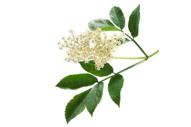 Elderflowers (Sambucus nigra).