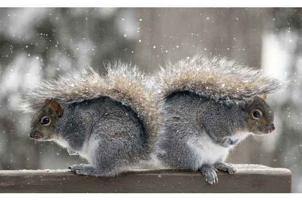 Both blanketed by their fluffy tails, mother and daughter grey squirrels wait out a snow storm.