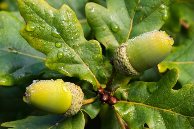 Acorns and oak leaves (Quercus robur) in morning dew, Ashdown Forest, Sussex, England