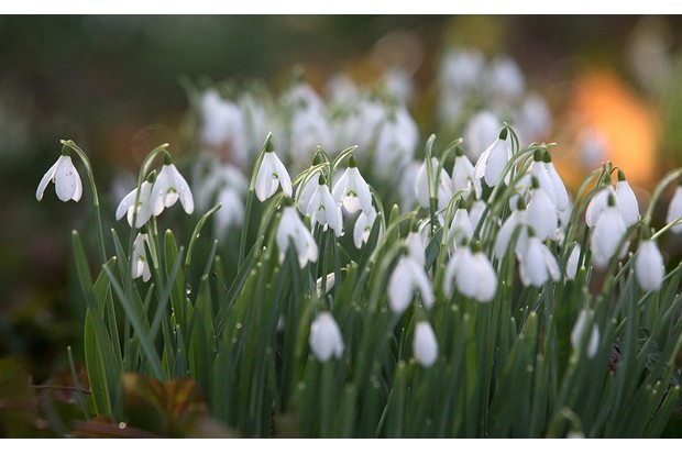 SHAFTESBURY, ENGLAND - FEBRUARY 17: Dew drops remain on a snowdrop growing in the grounds of Springhead Trust Open Garden in Fontmell Magna, on February 17, 2015 in Shaftesbury, England. The town of Shaftesbury is currently holding a snowdrop festival, which in a series of events marks the arrival of one the UK's most popular flowers which is seen by many as an indicator of the arrival of spring. (Photo by Matt Cardy/Getty Images)