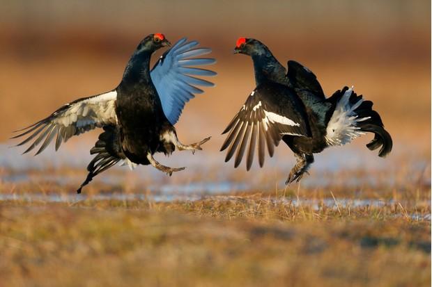 Black grouse, Tetrao tetrix