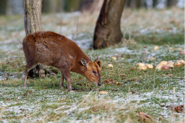 Muntjac, Muntiacus reevesi, single mammal on snowy grass, Warwickshire, February 2013