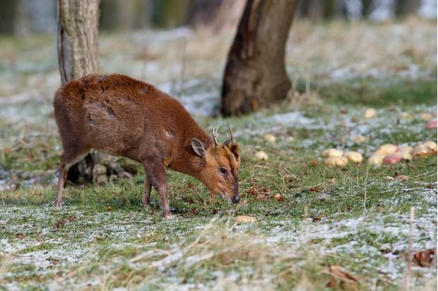 Muntjac, Muntiacus reevesi, single mammal on snowy grass, Warwickshire, February 2013