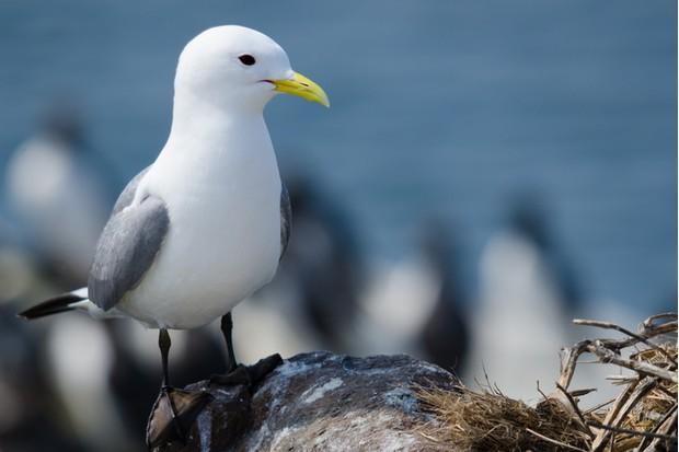 Nesting Farne Island Kittiwake